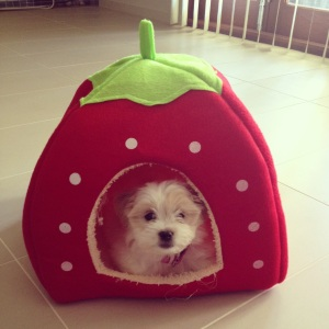 Fluffball on her strawberry house
