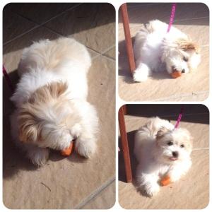 Fluffball munching carrots